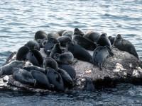 Лежбище байкальской нерпы на Ушканьих островах