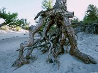 Сосна в бухте Песчаной