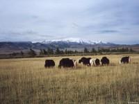 Яки на фоне горы Монгун-Тайга